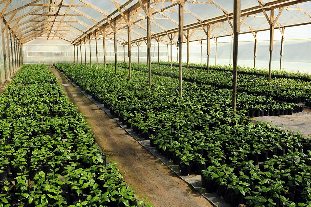 Produccion de Hibiscos en Vivero Multiplant