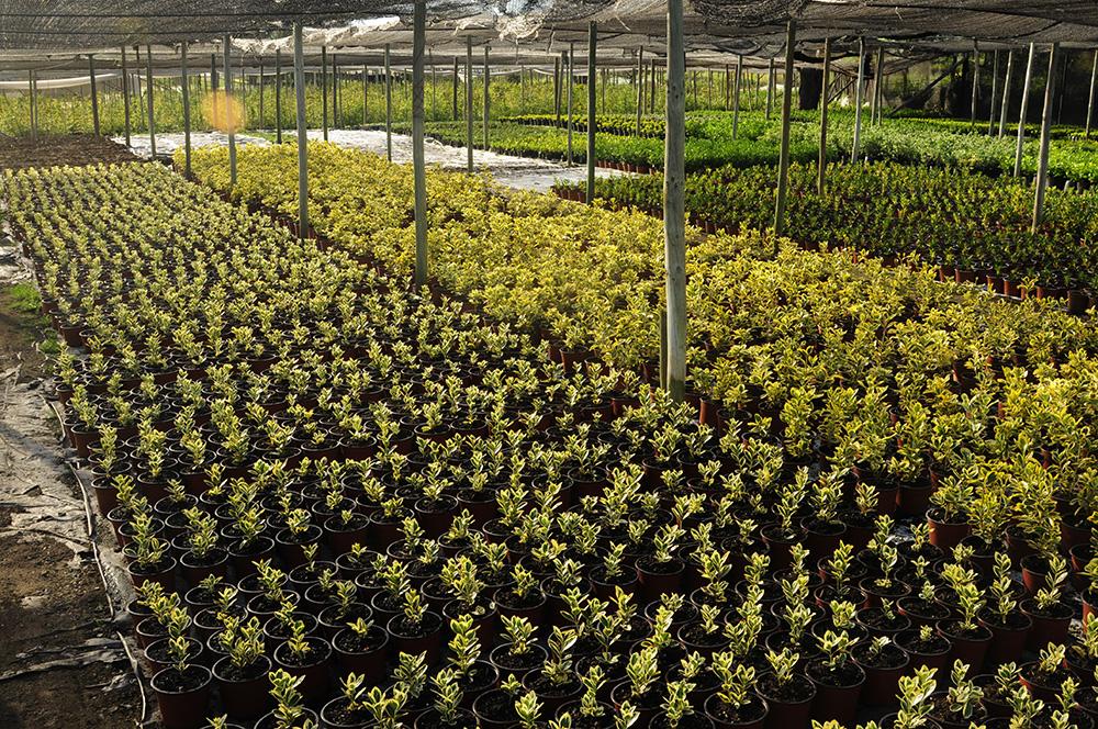 Produccion de arbustos en Multiplant Olmue