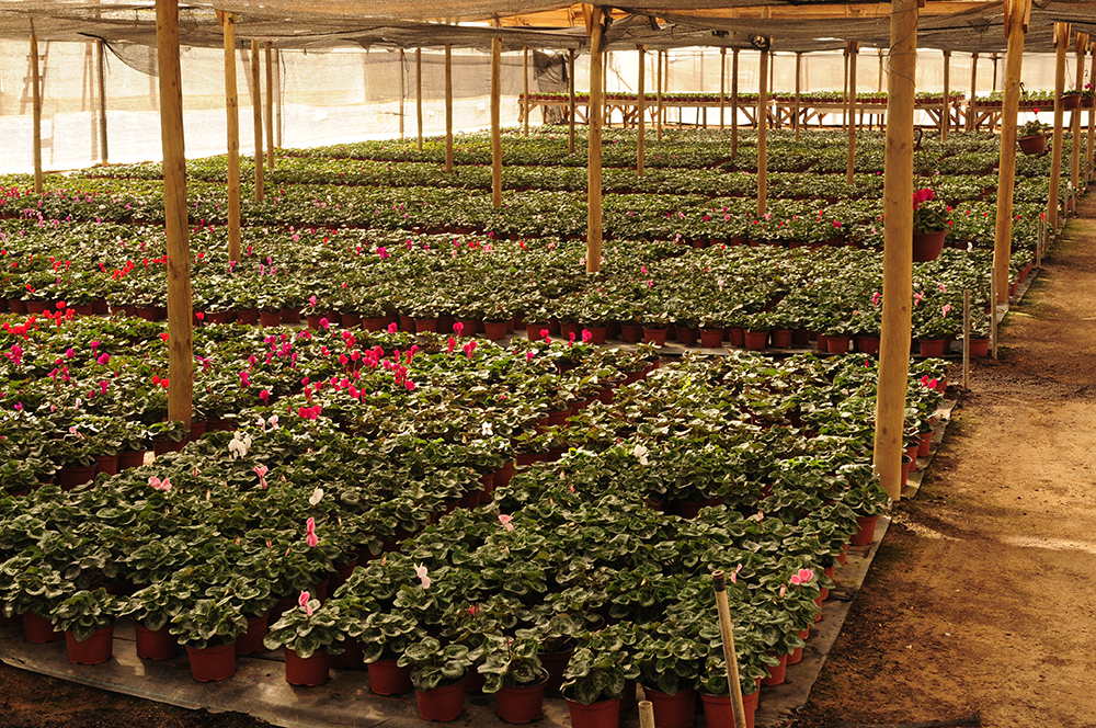 Produccion de cyclamen en maceta de Multiplant