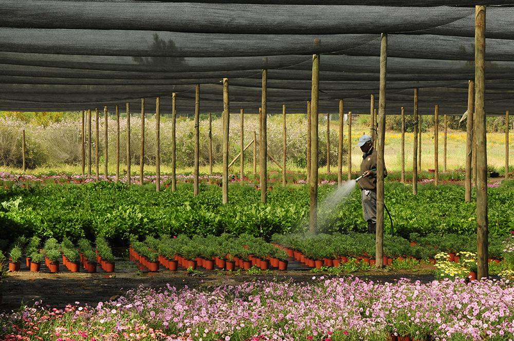 Produccion de florales perennes de Vivero Multiplant Olmue