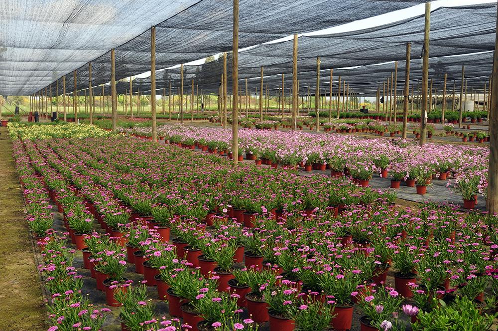 Produccion de flores en maceta de Vivero Multiplant Olmue