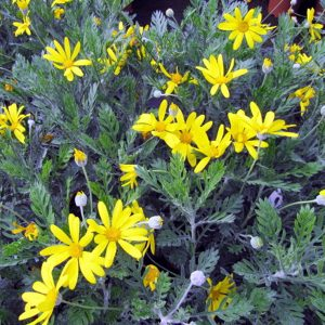 Paqueret Californiano | Euryops pectinatus