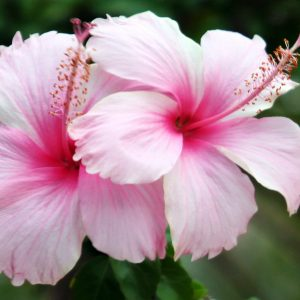 Hibisco Simple | Hibiscus rosa-sinensis