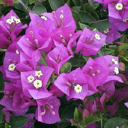 Buganvilla Purple Small Leaf | Bougainvilleas