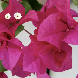 Buganvilla James Walker | Bougainvilleas