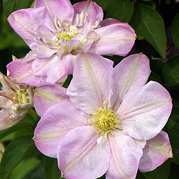 Clematides Innocent Blush | Clematis spp