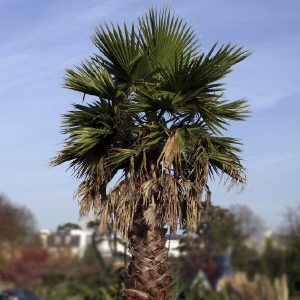 Palmera Washingtonia | Washingtonia robusta