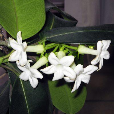 Estefanotis / Jazmín de Madagascar Stephanotis floribunda
