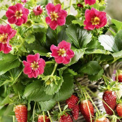 Frutilla Galore Pink - Rose | Fragaria híbrida